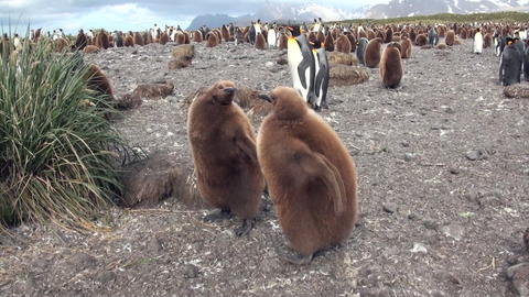 Adults and young Emperor Penguins on the Falkland Islands フォト