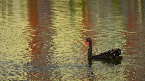 Black Swan floating on the water. The Swan touches the red beak feathers Footage