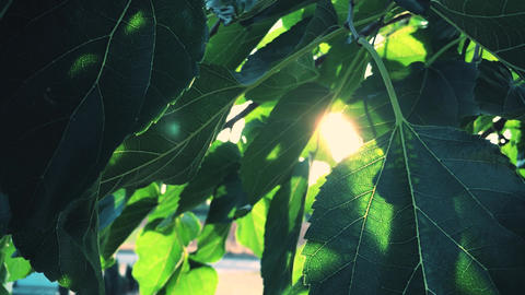 Sun's Rays Bursting Through Leaves ビデオ
