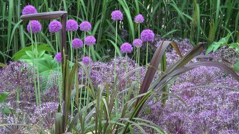 Giant onion flowers , Allium giganteum ビデオ
