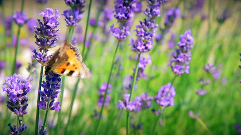 Butterfly collects the pollen of flowers Footage