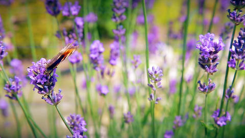 Butterfly and bees collect pollen of flowers Footage