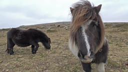 Cinemagraph of wild dartmoor pony standing on the mountain ビデオ
