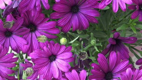 Flowering deep purple osteospermum close-up Footage