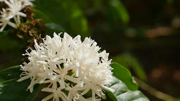 Bee on coffee flower in morning Archivo