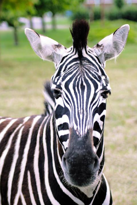 Portrait of a zebra with beautiful. Muzzle close up フォト