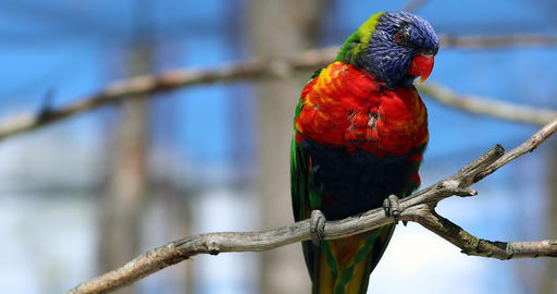 Cute Rainbow Lorikeet Closeup Portrait Footage