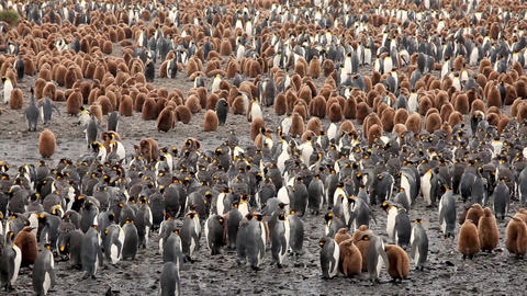 King Penguins On South Georgia Island Live Action