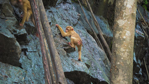 A monkey on a rock rock drinks water in a tropical forest Stock Video Footage