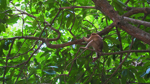 the monkey sits on a tree branch in the jungle. tropical forest of asia Filmmaterial