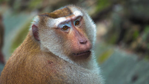 portrait of a monkey, large face. monkey sitting and looking at the camera Footage