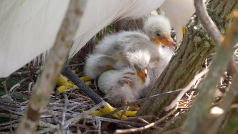 Nest with chicks close-up Footage