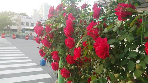 flower rose ビデオ