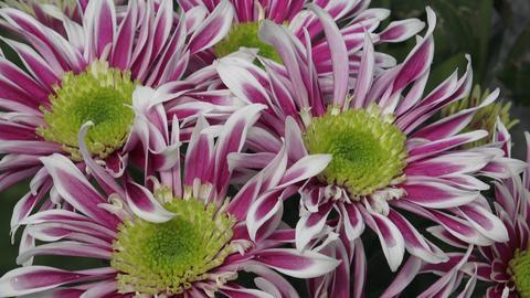 Flowers, flowers chrysanthemum in the garden Footage