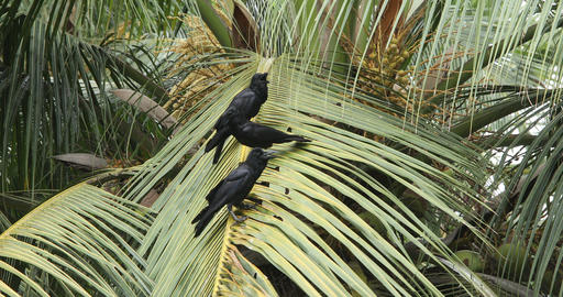 Crows on the Coconut Tree ビデオ