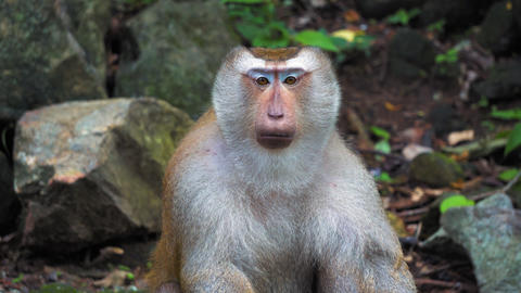 The monkey looks at the camera and around. portrait and emotions of a monkey Footage