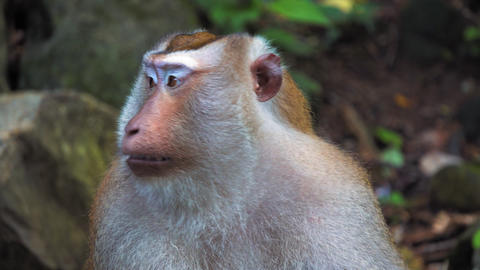 a monkey in a tropical jungle, sitting on stones. looks at the camera, portrait Live Action