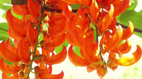 Orange burn exotic tropical flower. hanging climbing plants Footage