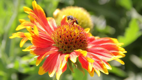 Bees collect nectar from the flowers Live Action