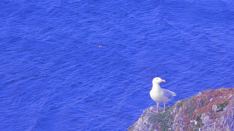 Glaucous gull Larus hyperboreus on background of Barents sea Footage