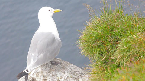 Kittiwake (Rissa tridactyla) sitting on ledge of cliff over the Barents sea Footage