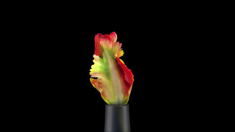 Growing, opening and rotating French tulip in RGB + ALPHA matte format Footage