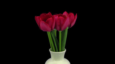 Growing, opening and rotating red tulips in RGB + ALPHA matte format Footage