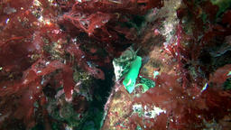 Sea Snail underwater on seabed of Barents Sea Footage