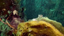 Glass nudibranch slug underwater on seabed of Barents Sea ビデオ