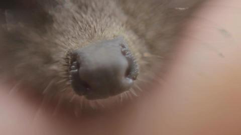Nose of Tiny hedgehog macro Live Action