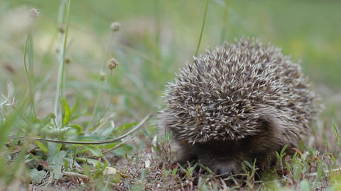 Tiny hedgehog on the clearing creeps uncertainly Footage