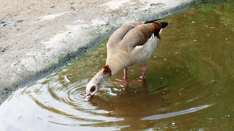 Goose standing in the water Footage