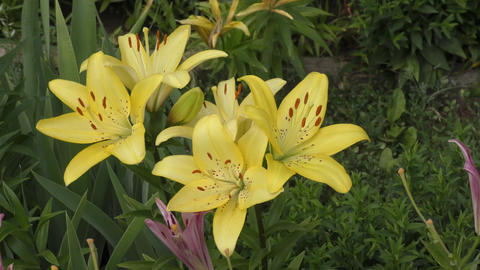 Garden Lily yellow In the flecked GIF