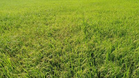 Green rice fields, aerial view ビデオ