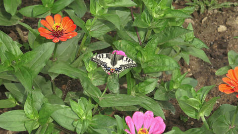Butterfly on pink flower in the garden GIF