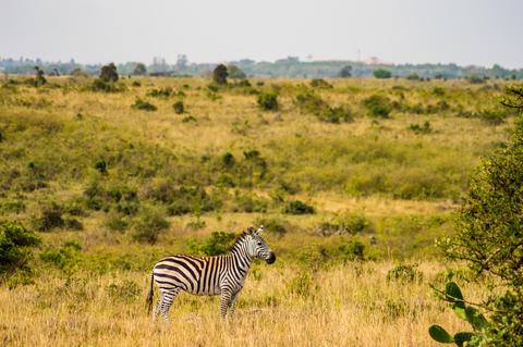 Isolated zebra in the savannah countryside of Nairobi Park フォト