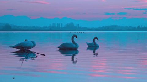 Swans birds evening twilight Live Action