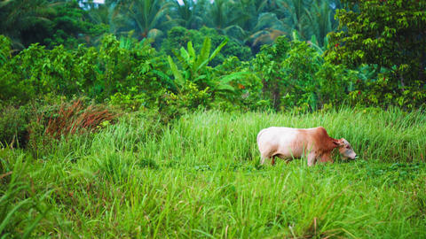 The cow grazes on the tropical island of Asia. farming in the tropics, palms Live Action