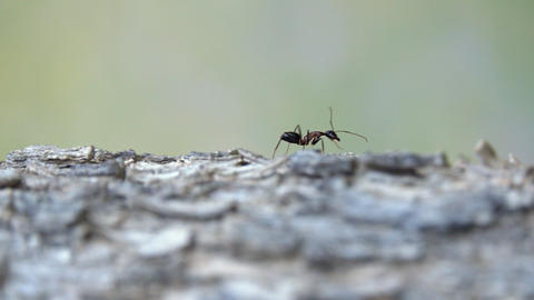 A big black and red ant on the bark of a tree Footage