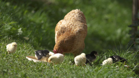 Mother hen and chicks feed on bio farm Live Action