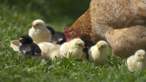 Baby chicks on bio farm Live Action