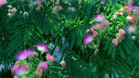 Pink flowers Albizia julibrissin, summer day Archivo