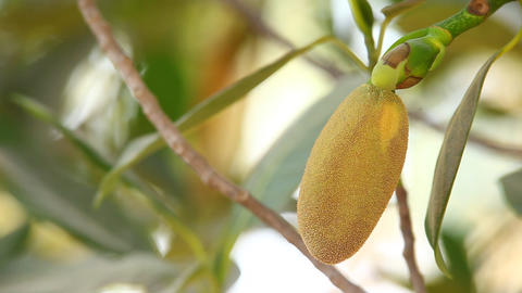 jack fruit on tree in nature Footage