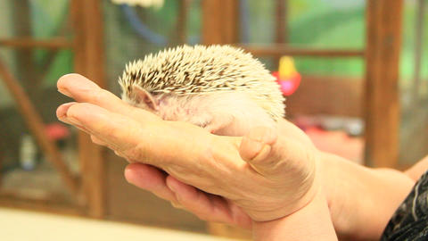 Small hedgehog in hands Footage