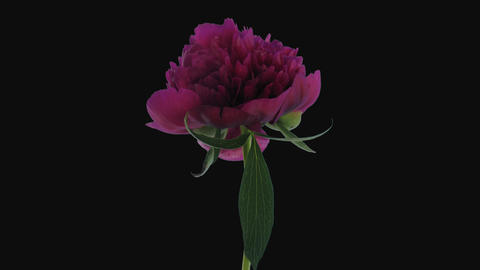 Time-lapse of opening purple peony, 4K with ALPHA channel GIF