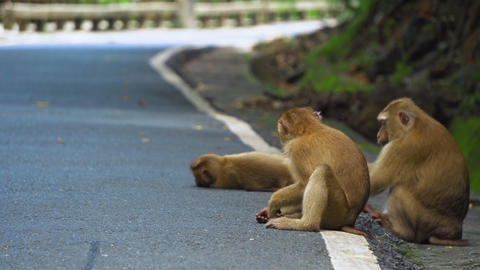 monkey is sitting on the road in the park. Asia, tropical forest, national park Live Action