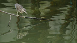 Flappy bird (Black-crowned night heron) Hunting its prey Live Action