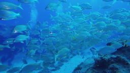 fish swimming in tropical ocean fuerteventura canary islands Footage
