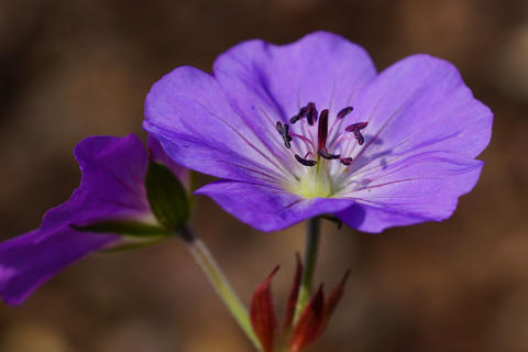 Cranesbill, Geranium cinereum Photo