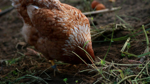 Hens Stock Video Footage